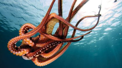 The many arms of the octopus tangle as it swims in glorious red against the cold blue of the ocean.